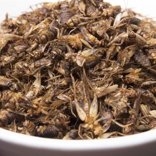 Buy Roasted Crickets